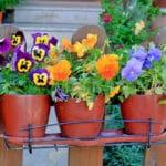 Valašské Klobouky rozdají obyvatelům sazenice balkonových květin