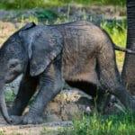 Zoo Zlín slaví, narodilo se první africké slůně v ČR